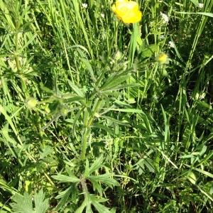 Photographie n°2160308 du taxon Ranunculus bulbosus L. [1753]