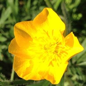 Photographie n°2160309 du taxon Ranunculus bulbosus L. [1753]