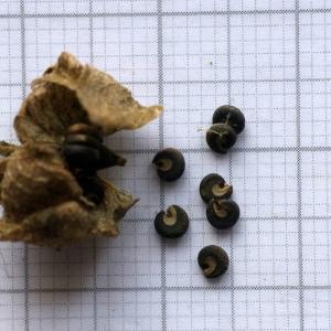 Photographie n°2160452 du taxon Malva alcea L. [1753]