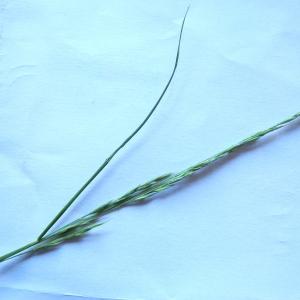 Photographie n°2166296 du taxon Festuca rubra L. [1753]