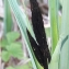 martine Desplis - Carex acuta L. [1753]