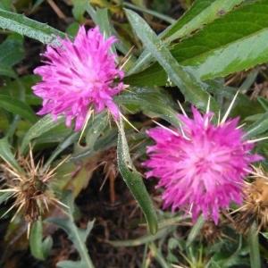 Photographie n°2166560 du taxon Centaurea calcitrapa L. [1753]