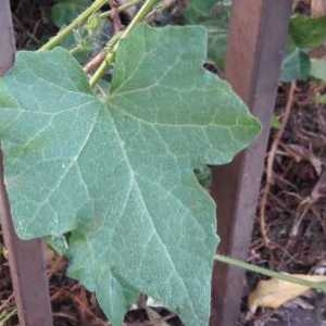 Photographie n°2166620 du taxon Bryonia cretica subsp. dioica (Jacq.) Tutin [1968]