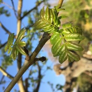 Fraxinus excelsior L. subsp. excelsior (Frêne commun)