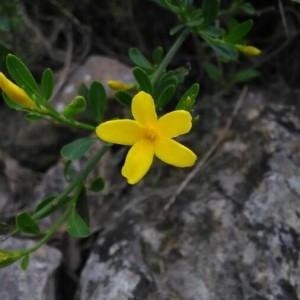 Photographie n°2167231 du taxon Jasminum fruticans L. [1753]