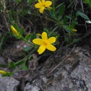 Photographie n°2167232 du taxon Jasminum fruticans L. [1753]