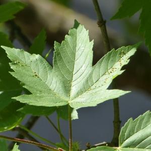- Acer pseudoplatanus L. [1753]