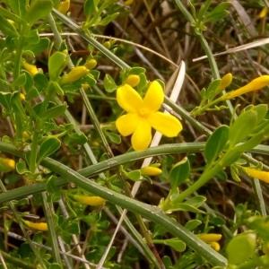 Photographie n°2167313 du taxon Jasminum fruticans L. [1753]