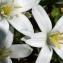Ornithogalum umbellatum L. [nn46526] par Catherine DURET le 20/04/2018 - Saint-Martin-d'Hères