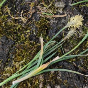 Photographie n°2167683 du taxon Carex flacca Schreb. [1771]
