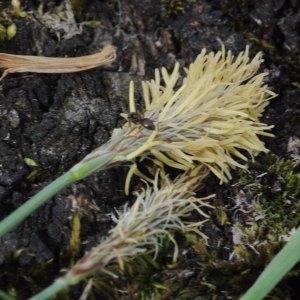 Photographie n°2167684 du taxon Carex flacca Schreb. [1771]
