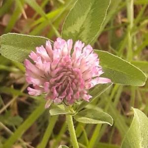 Photographie n°2167743 du taxon Trifolium pratense L. [1753]