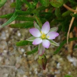 Photographie n°2167891 du taxon Spergula marina (L.) Bartl. & H.L.Wendl. [1825]