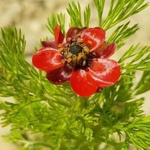 Photographie n°2168064 du taxon Adonis annua L. [1753]