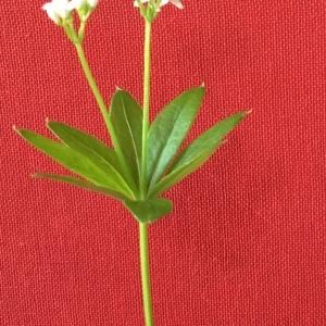 Photographie n°2168228 du taxon Galium odoratum (L.) Scop. [1771]
