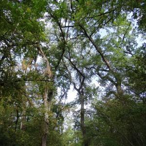 Photographie n°2168353 du taxon Quercus petraea subsp. petraea