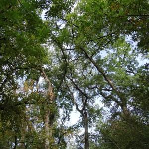 Photographie n°2168354 du taxon Quercus petraea subsp. petraea
