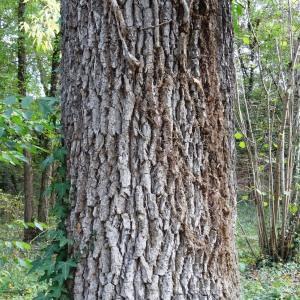 Photographie n°2168355 du taxon Quercus petraea subsp. petraea