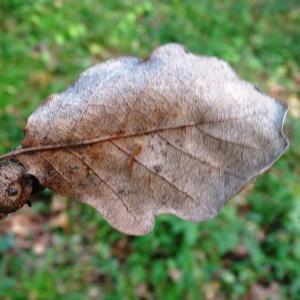 Photographie n°2168359 du taxon Quercus petraea subsp. petraea