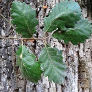 Photographie n°2168360 du taxon Quercus petraea subsp. petraea