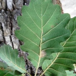 Photographie n°2168364 du taxon Quercus petraea subsp. petraea