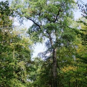 Photographie n°2168368 du taxon Quercus petraea subsp. petraea