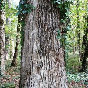 Photographie n°2168369 du taxon Quercus petraea subsp. petraea
