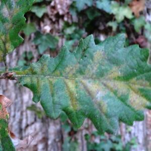 Photographie n°2168370 du taxon Quercus petraea subsp. petraea