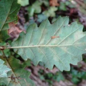 Photographie n°2168371 du taxon Quercus petraea subsp. petraea