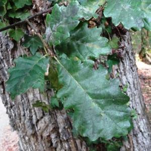 Photographie n°2168372 du taxon Quercus petraea subsp. petraea