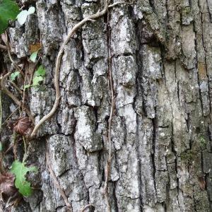 Photographie n°2168373 du taxon Quercus petraea subsp. petraea