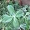 Plante rampante succulente [nn0] par edz le 25/04/2018 - Nouméa