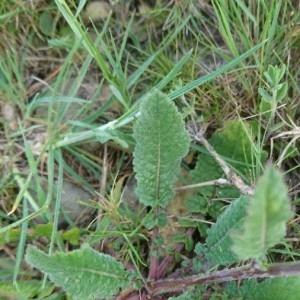 Photographie n°2168414 du taxon Erucastrum incanum (L.) W.D.J.Koch [1837]