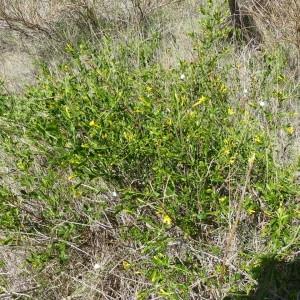 Photographie n°2168658 du taxon Jasminum fruticans L. [1753]
