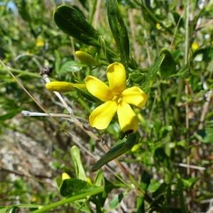 Photographie n°2168659 du taxon Jasminum fruticans L. [1753]