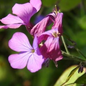 Photographie n°2168974 du taxon Lunaria annua L. [1753]