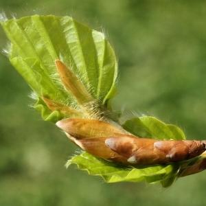 Photographie n°2168985 du taxon Fagus sylvatica L.