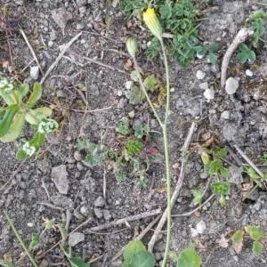 Photographie n°2169201 du taxon Crepis sancta (L.) Bornm. [1913]