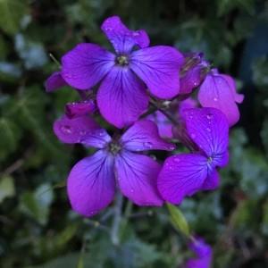 Photographie n°2169600 du taxon Lunaria annua L.