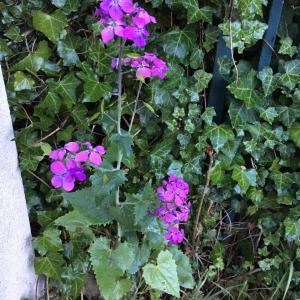 Photographie n°2169601 du taxon Lunaria annua L.