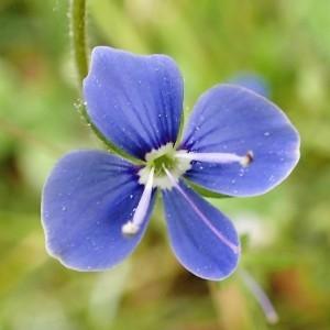 Photographie n°2169740 du taxon Veronica chamaedrys L. [1753]