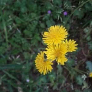 Photographie n°2169744 du taxon Crepis sancta (L.) Bornm. [1913]