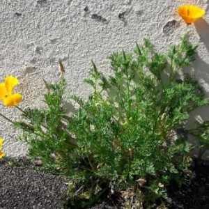 Photographie n°2169886 du taxon Eschscholzia californica Cham. [1820]