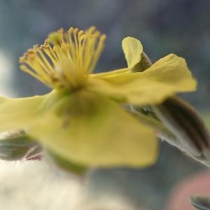 Photographie n°2170233 du taxon Helianthemum Mill.
