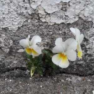 Photographie n°2170274 du taxon Viola arvensis Murray [1770]