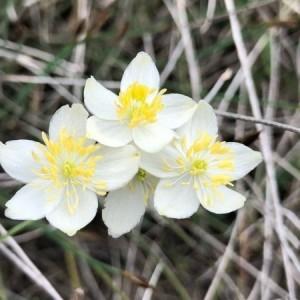 Photographie n°2170458 du taxon Thalictrum tuberosum L. [1753]