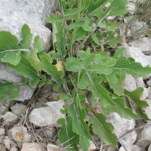 Photographie n°2170625 du taxon Brassica montana Pourr. [1788]