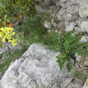 Photographie n°2170626 du taxon Brassica montana Pourr. [1788]