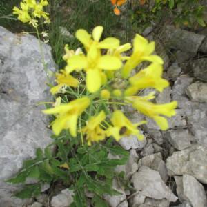 - Brassica montana Pourr. [1788]
