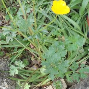 Photographie n°2170821 du taxon Ranunculus arvensis L.
